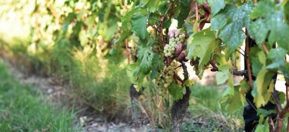 Illustration de la vigne