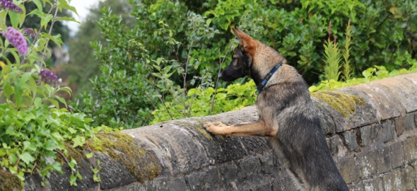Un chien contre une muraille