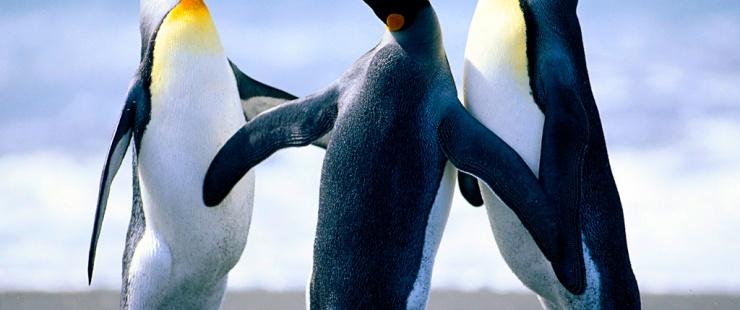 photo de pinguin