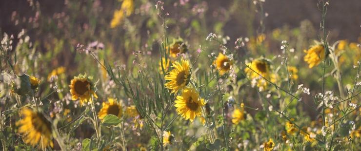 Prairie fleurie avec tournesols