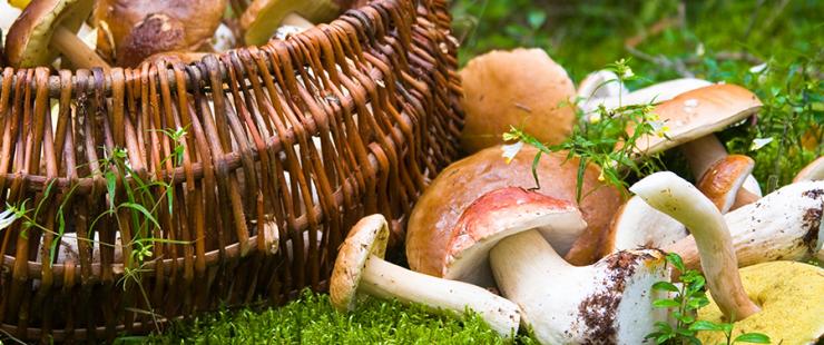Contrôle des cueillettes de champignons